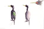 Pelagic Cormorants (Phalacrocorax pelagicus)