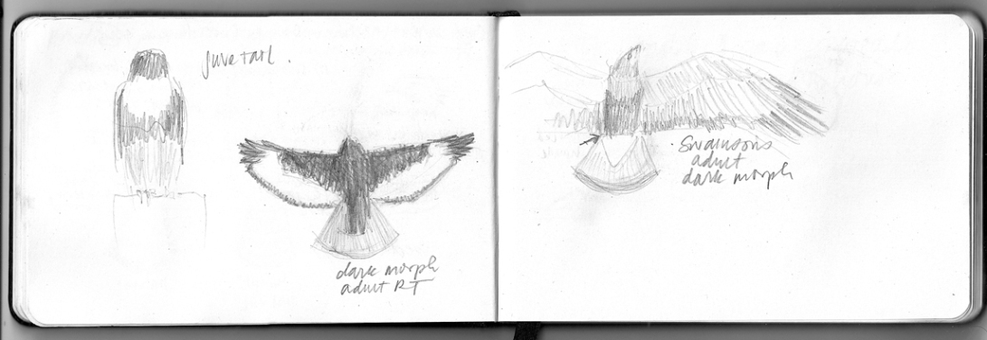 more notes from August 30: dark morphs and juvenile buteos