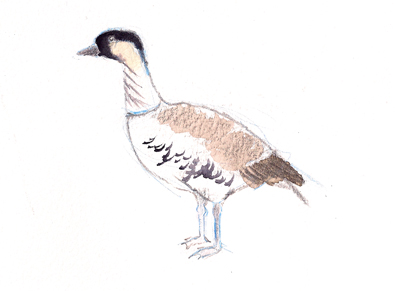 Nene goose, the state bird of Hawai'i