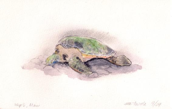 This turtle is probably more than 50 years old. The shell was about 3.5 feet long by about 2 feet wide.
