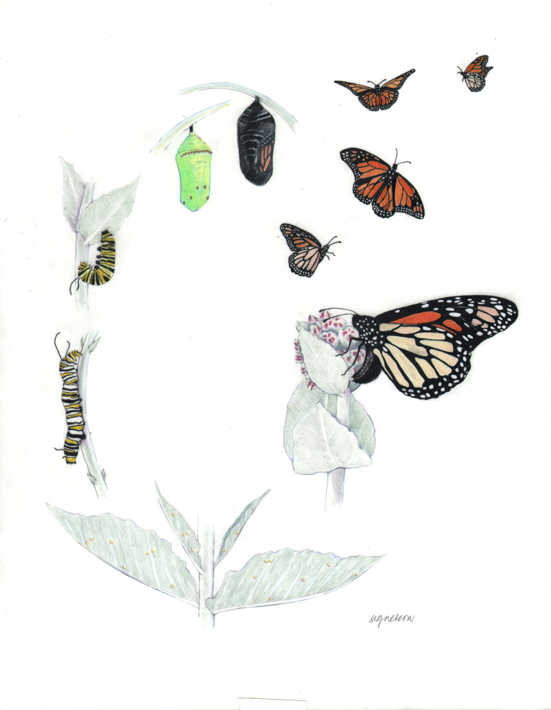 Monarch butterfly (Danaus plexippus) and Milkweed (Asclepias californica)
